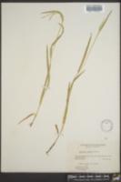 Image of Glyceria erecta