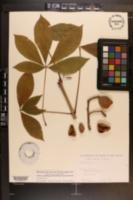 Aesculus pavia var. pavia image