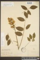 Wisteria frutescens var. macrostachya image