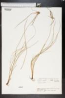 Image of Dichromena ciliata