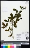 Cnidoscolus urens image