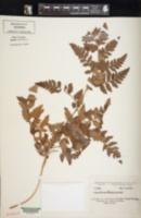 Image of Alsophila capensis