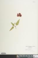 Image of Pentapetes phoenicea