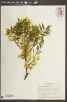 Xanthoceras sorbifolium image