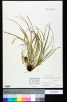 Carex willdenowii image
