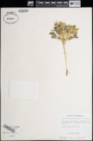 Image of Lupinus argillaceus