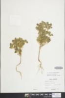 Euphorbia falcata image