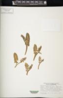 Botrychium spathulatum image