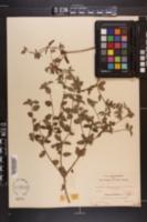 Image of Croton betulinus