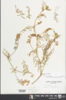 Vicia villosa image