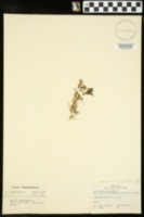 Stellaria corei image