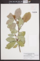 Image of Photinia serratifolia