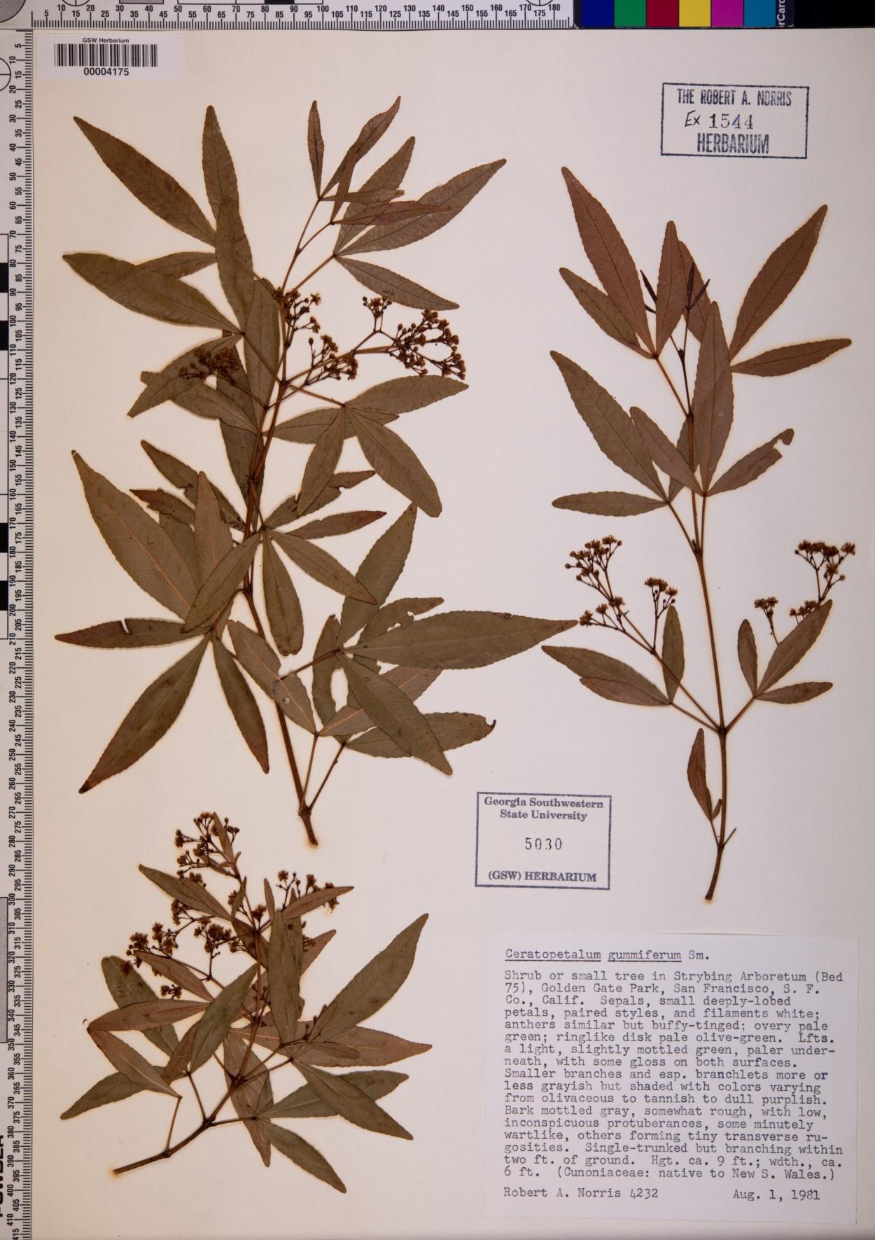 Ceratopetalum gummiferum image