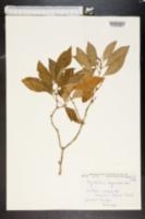 Image of Psychotria corymbosa