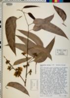 Image of Eucalyptus obliqua