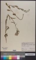 Image of Erechtites glomerata