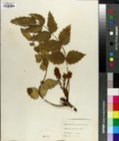 Image of Berberis nervosa