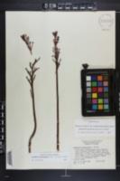 Image of Bryophyllum delagoense