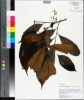 Image of Trichilia pleeana