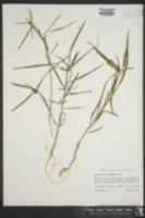 Image of Poinsettia pinetorum