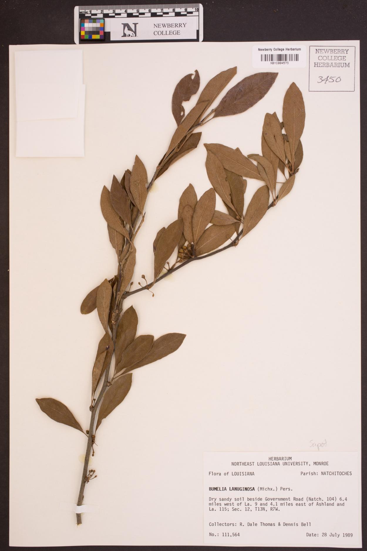 Bumelia lanuginosa image