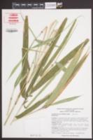 Arundinaria tecta image