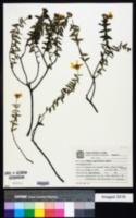 Image of Calea parvifolia