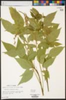 Psoralea onobrychis image