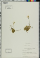 Image of Draba bellii