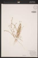 Gayophytum decipiens image