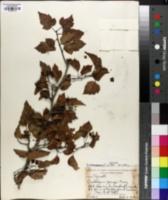 Crataegus phaenopyrum image