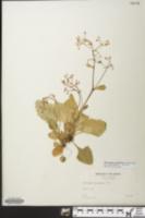 Image of Micranthes caroliniana