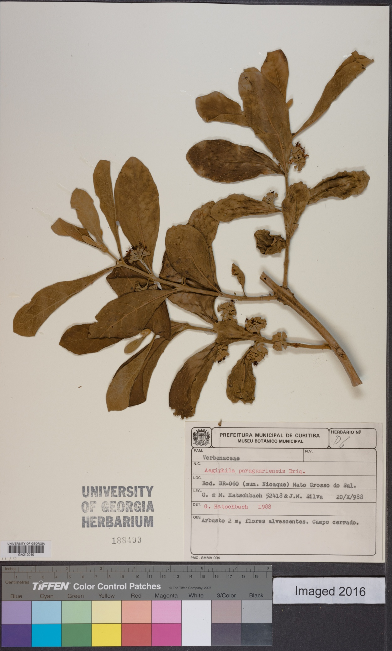 Aegiphila paraguariensis image