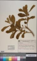 Image of Aegiphila paraguariensis