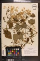 Clematis dioscoreifolia image