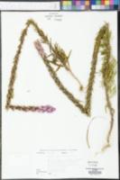 Liatris squarrosa image