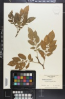 Solanum tuberosum image
