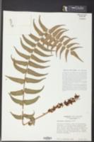 Image of Cyrtomium fortunei