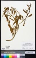 Cakile lanceolata image
