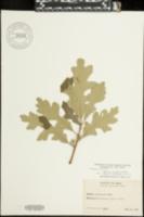 Quercus mandanensis image