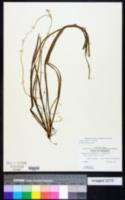 Image of Sagittaria filiformis