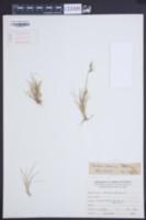 Image of Danthonia araucana