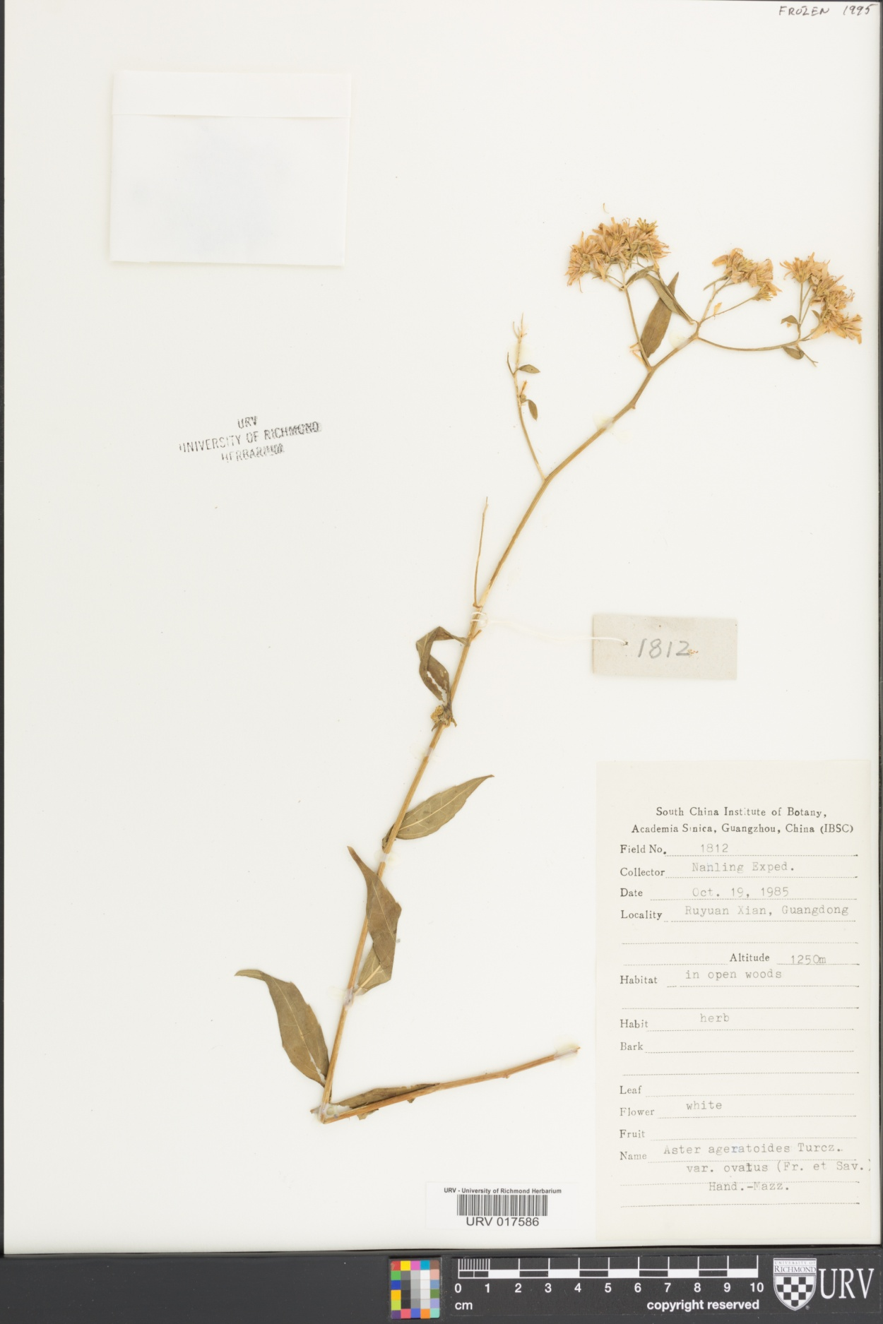 Aster ageratoides image
