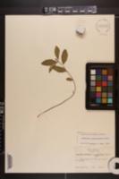 Euphorbia pubentissima image