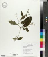 Tragia nepetifolia image