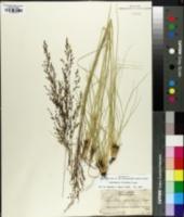 Image of Sporobolus floridanus
