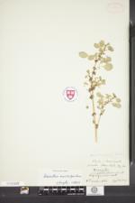 Image of Amaranthus macrocarpus