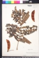 Peltophorum pterocarpum image
