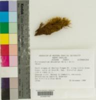 Image of Dicranodontium denudatum
