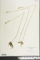 Image of Utricularia juncea